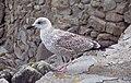 Cheeky Seagull - geograph.org.uk - 297792.jpg