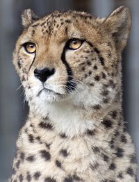 Cheetah head 2a (5017735163)