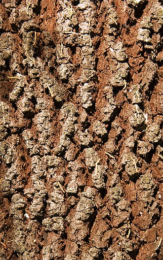 Exocarpos cupressiformis - Image: Cherry ballard 4442