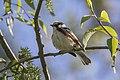 Chestnut-sided Warbler - Magee Marsh - Ohio 15052017-FJ0A7254 (24945410837).jpg