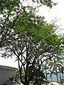 Chiminango (Pithecellobium dulce) (14409096615).jpg
