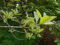 Chionanthus virginicus 2017-05-23 1366.jpg