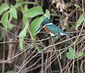 Chloroceryle americana m Pantanal.jpg