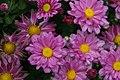 Chrysanthemum Courtney 1zz.jpg