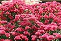 Chrysanthemum Elegant Marjorie 1zz.jpg