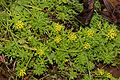 Chrysanthemum rupestre s3.jpg