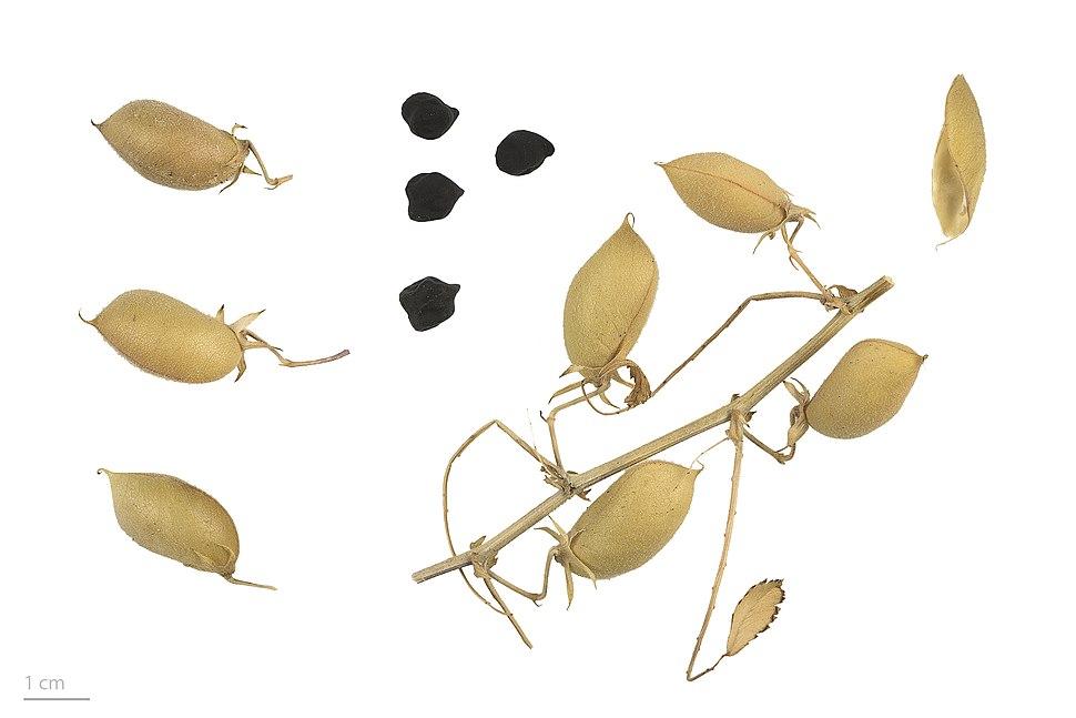 Cicer arietinum noir MHNT.BOT.2017.12.2