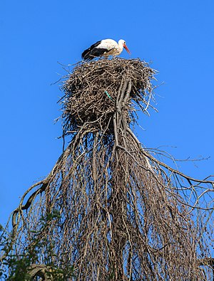 Nest of a White stork, Heidelberg