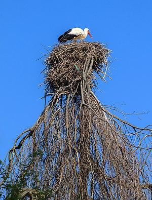 Nest of a White stork, Heidelberg