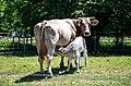 Cieza-cantabria-villayuso-vaca-pardo-alpina-mayo-2020.jpg