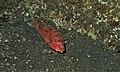 Cinnabar Goatfish (Parupeneus heptacanthus) (8459187890).jpg