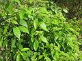 Cinnamomum glaucescens.JPG