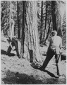 Civilian Conservation Corps enrollees sawing beetle infested tree at Lassen NationalForest in California - NARA - 195839.tif