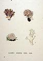 Clavaria cristata — Flora Batava — Volume v20.jpg