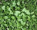 Claytonia perfoliata basal leaves 2003-02-04.jpg
