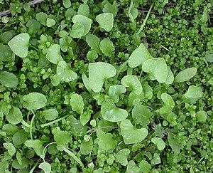 Claytonia perfoliata - Image: Claytonia perfoliata basal leaves 2003 02 04