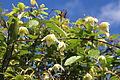 Clematis mauritiana Le Tampon 2.JPG