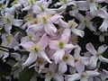 Clematis montana - London 2.jpg