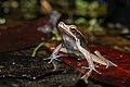 Clinotarsus penelope, Penelope's Hill frog - Kaeng Krachan National Park (34198338576).jpg