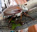 Cockchafer or May Bug. Melolontha melolontha. Scarabaeidae - Flickr - gailhampshire (3).jpg