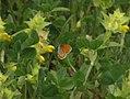 Coenonympha leander.jpg
