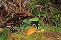 Cogumelos - panoramio (1).jpg