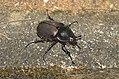 Coleoptera (20412418422).jpg