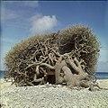Collectie Nationaal Museum van Wereldculturen TM-20029680 Boom op het strand Bonaire Boy Lawson (Fotograaf).jpg