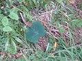 Colocasia esculenta (L.) Schott (AM AK295330).jpg