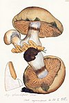 Old drawing of Cortinarius glaucopus