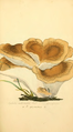 Coloured Figures of English Fungi or Mushrooms - t. 86.png
