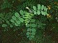 Colutea arborescens 2016-05-31 2170.jpg