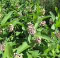 Common-Milkweed.png