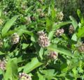 Common-Milkweed.png