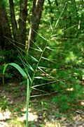 Common Bottlebrush Grass (1018667887).jpg