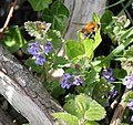 Common Carder Bee visiting Ground Ivy flowers.jpg