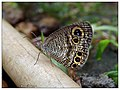 Common Fivering - (Ypthima baldus) പഞ്ചനേത്രി (14882830379).jpg