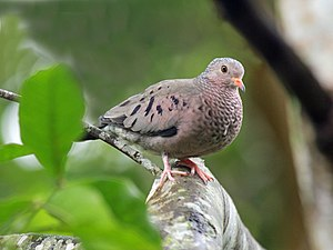Common Ground Dove RWD.jpg