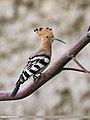 Common Hoopoe (Upupa epops) (48332227226).jpg