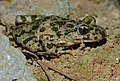 Common Parsley Frog (Pelodytes punctatus) (10113749903).jpg