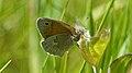 Common Ringlet (Coenonympha tullia) - Guelph, Ontario 02.jpg