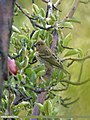 Common Rosefinch (Carpodacus erythrinus) (23591164676).jpg