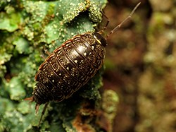 Common Striped Woodlouse - Flickr - treegrow (1).jpg
