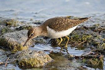 Common sandpiper lake geneva-1.jpg