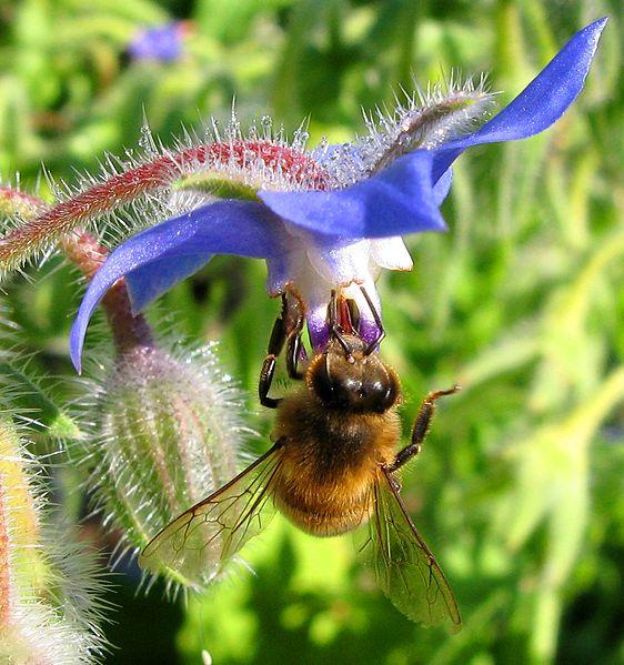 abeille sur plante mellifère