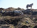 Connemara ponies, Cloch na Ron - geograph.org.uk - 1404602.jpg