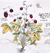 Drawing of wild strawberry in Historia platarum