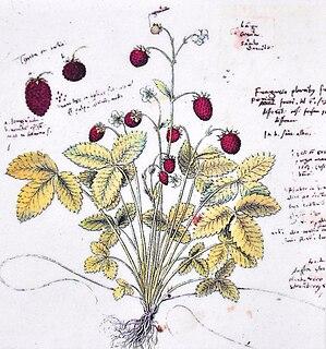 <i>Historia Plantarum</i> (Gessner) book by Conrad Gessner