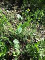 Conringia austriaca sl5.jpg