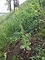 Conringia orientalis sl7.jpg
